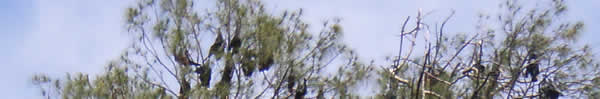 Flying foxes in the top of a tree