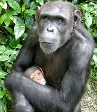 Mother and baby chimp