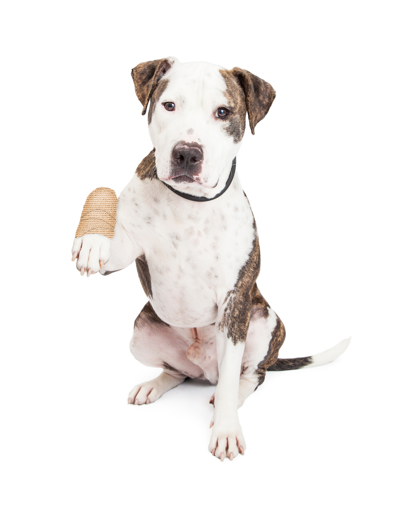 A dog with a bandaged paw