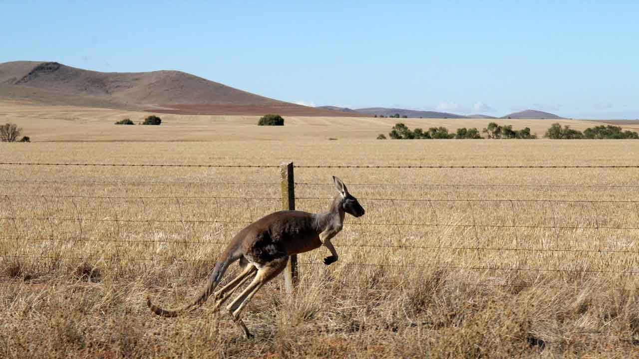 kangaroo jumping along the side of the road